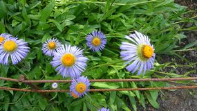 Naturaleza p?rpura de Europa de la margarita de la flor fotografía de archivo libre de regalías