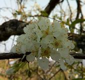 Naturaleza, primavera, plumblossoms, flores, hermoso, blanco, frescas foto de archivo libre de regalías