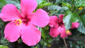 Naturaleza rosada Indonesia de la flor de la belleza exótica fotos de archivo libres de regalías