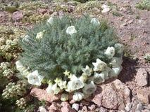 Naturaleza salvaje - argentino los Andes - flores de altas montañas foto de archivo