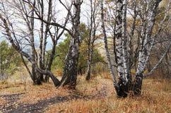 Naturaleza salvaje del otoño Árboles en hojas amarillas Fotos de archivo