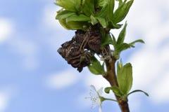 Naturaleza siberiana: Una pequeña araña cambia la cáscara de la quitina imagen de archivo