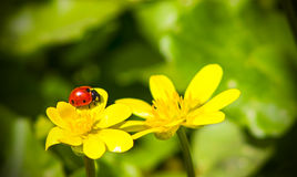 Naturaleza soleada brillante de la primavera amarilla de los ranúnculos de prado Foto de archivo libre de regalías
