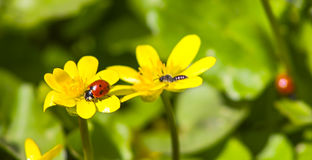 Naturaleza soleada brillante de la primavera amarilla de los ranúnculos de prado Imagen de archivo
