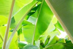 Naturaleza verde del plátano de la hoja del primer para el fondo Creativo hecho de las hojas verdes del plátano Fotos de archivo