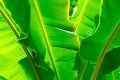 Naturaleza verde del plátano de la hoja del primer para el fondo Creativo hecho de las hojas verdes del plátano Fotografía de archivo