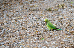 Naturalised wild Rose ringed parakeet, London, UK. Aka Kingston or Twickenham parakeets. This one opening and eating beech nut Stock Image