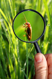 Naturalist. Observing insects under a magnifying glass Stock Photography