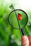Naturalist. Explores the ladybird with dew Royalty Free Stock Photography