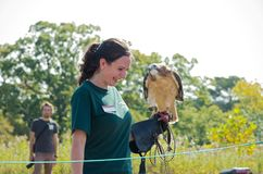 Naturalist and Hawk at Raptor Release. Hastings, Minnesota, USA – SEPTEMBER 23, 2017: University of Minnesota Raptor Center Interpretive Naturalist Kayla Wolfe Stock Photography