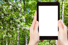 Naturalist photographs cherry blossoms and birches. Season concept - naturalist photographs cherry blossoms and birch trees in spring forest on tablet pc with Stock Image
