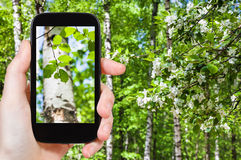 Naturalist photographs leaves of birch trees. Season concept - naturalist photographs young green leaves of birch trees in green spring forest on smartphone royalty free stock image
