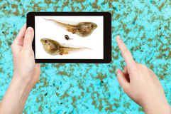 Naturalist studies tadpoles of frog in water pool. On tablet pc Royalty Free Stock Photo