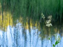 Naturalistic abstract lake background, differential focus featuring Meadowsweet, Mead Wort aka Filipendula ulmaria in. The foreground. Lake reflections behind Stock Photo