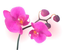 Naturalistic Beautiful Colorful Pink Orchid.Vector Illustration. Royalty Free Stock Image