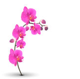 Naturalistic Beautiful Colorful Pink Orchid on White Background. Royalty Free Stock Photo