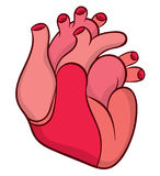 Naturalistic real heart Royalty Free Stock Photography