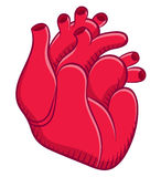 Naturalistic real heart Royalty Free Stock Image