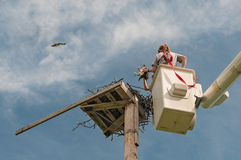 Naturalists Return Osprey to Nesting Platform Royalty Free Stock Images