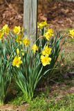 Spring Blooming Naturalized Yellow Daffodils. These are naturalized spring blooming yellow daffodils or narcissus, flowering perennial bulbs stock image