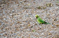 Naturalizujący dzikiej róży upierścieniony parakeet, Londyn, UK Obraz Stock