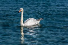 Naturally beautiful, lonely male swan. Swimming on the lake Royalty Free Stock Images