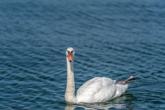 Naturally beautiful, lonely male swan. Swimming on the lake Stock Photo