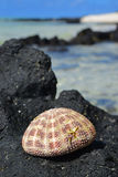 Naturally dried up Sea Urchin Shell on display on top of a Black Rock with sky, sea, wave and more rocks in the background Stock Image