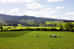 Naturally fed sheeps Stock Images