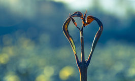 Naturally formed heart branches. Naturally formed heart-shaped twig on green background Royalty Free Stock Image