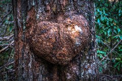 The naturally formed heart-shaped on the tree Stock Image