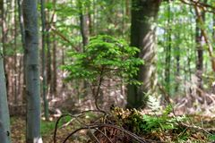 A naturally growing bonsai tree in the forest. A small coniferous tree, pine or spruce. royalty free stock photos