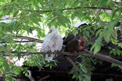 Chicken sleeping on the tree. Naturally picture show the natural chicken where sleeping on the tree royalty free stock photos
