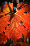 Naturally red wine leaf Royalty Free Stock Photo