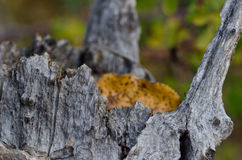 Naturally Weathered Tree Stump in Autumn. Dried and Naturally Weathered Tree Stump in Autumn Stock Photo