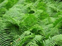 Naturalna, świeża paproć w lesie, (marattiaceae) Fotografia Royalty Free