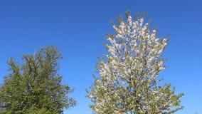 Naturalna Biała wiśnia Kwitnie Z Młodymi liśćmi zbiory