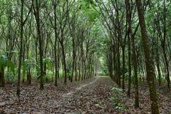 Naturalna gumowa plantacja, Gumowego drzewa las Zdjęcie Royalty Free
