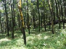 Naturalna gumowa plantacja w sri lance Fotografia Stock