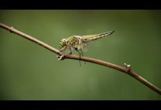 Naturalna komar najeźdźca Zdjęcia Royalty Free
