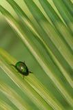 Naturalna oświetleniowa fotografia cetonia ściga na zielonym palmowym liściu z płycizną DOF Fotografia Royalty Free