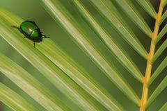 Naturalna oświetleniowa fotografia cetonia ściga na zielonym palmowym liściu z płycizną DOF Zdjęcia Royalty Free