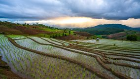 Naturalna plantacja irlandczyka Rice kultywacja fotografia royalty free