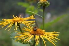 Naturalna pszczoła Zdjęcia Royalty Free