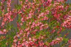 Naturalna rośliny tekstura mała czerwień kwitnie na gałąź z zielonymi liśćmi fotografia stock
