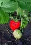 Naturalna roślina truskawka Zdjęcie Royalty Free