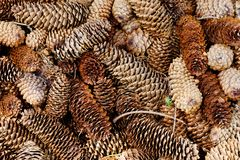 Naturalna sosnowa las ziemia z rożkami Zdjęcia Royalty Free