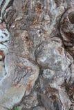 naturalna sztuki Zamyka W górę Starej Eukaliptusowej Drzewnej barkentyny I Gnarl zdjęcie royalty free