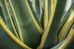 Naturalna tekstura lub tło kaktusowi liście agawa Obrazy Royalty Free