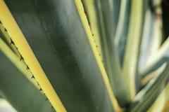 Naturalna tekstura lub tło kaktusowi liście agawa Obrazy Stock